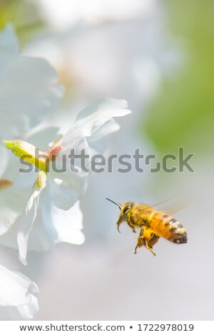 flying honeybee with peach blossoms stock photo © secretsilent