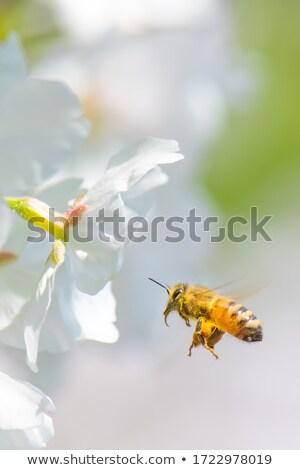 ストックフォト: 飛行 · ミツバチ · 桃 · 蜂 · 目に見える