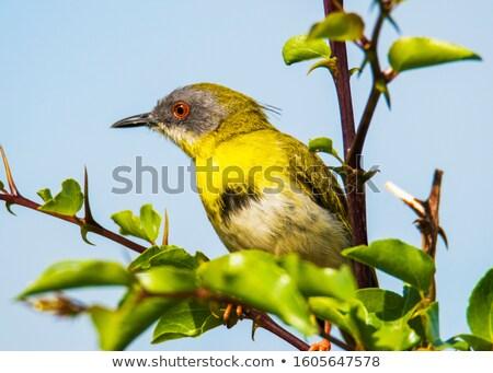 支店 鳥 アフリカ 動物 美しい いい ストックフォト © davemontreuil