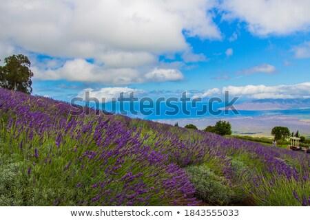 bush · lavendel · zomer · veld · natuur - stockfoto © vividrange