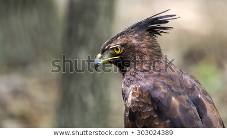 Crested Eagle Raptor Stock photo © fouroaks
