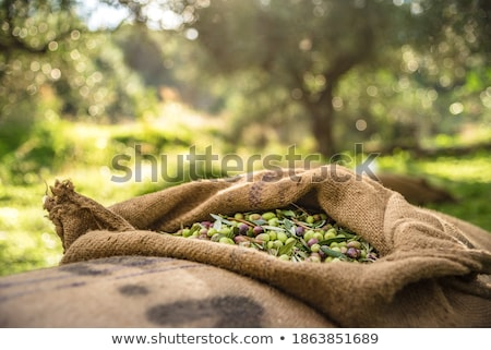 The olive harvest with nets Stock photo © Fotografiche