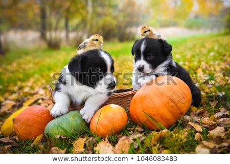 Autumn Chick Stock photo © dash