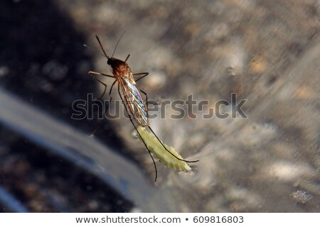 a mosquito laying eggs stock photo © bluering