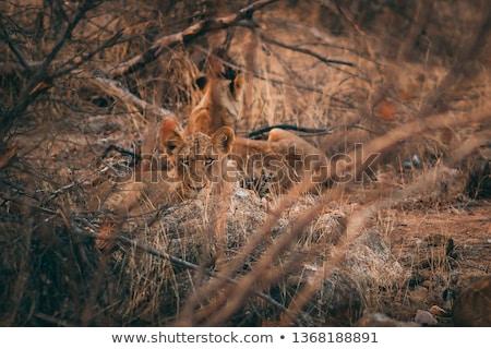 Férfi oroszlán bokrok park Dél-Afrika természet Stock fotó © simoneeman