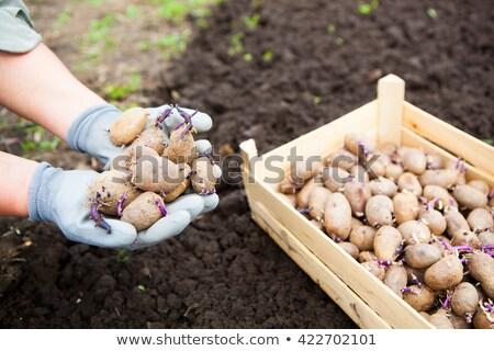 Close-up of germinating potatoes in the woman farmer hands  Stock photo © Yatsenko