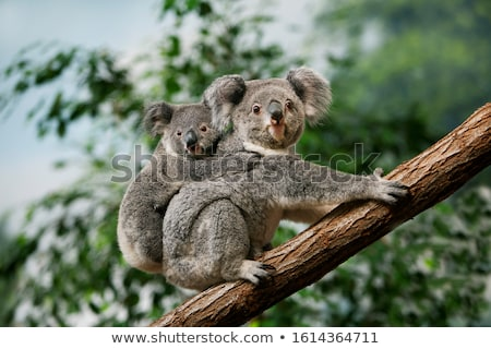 Koala séance arbre tour colline faune Photo stock © dirkr