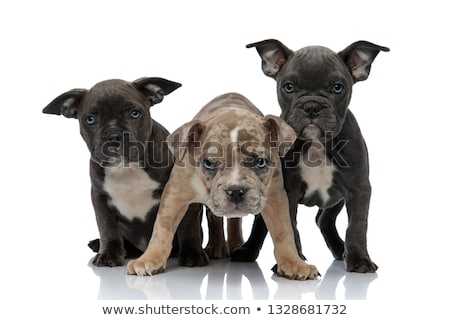 3 American bully dogs sitting and standing together looking away Stock photo © feedough