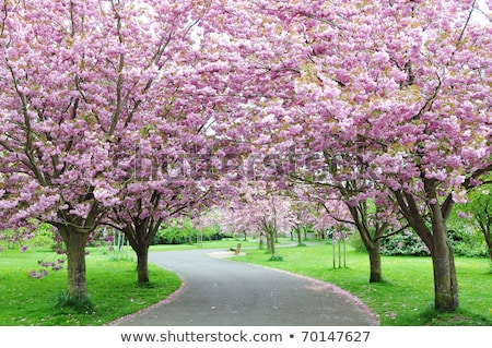 Footpath with pink flowering trees Stock photo © manfredxy