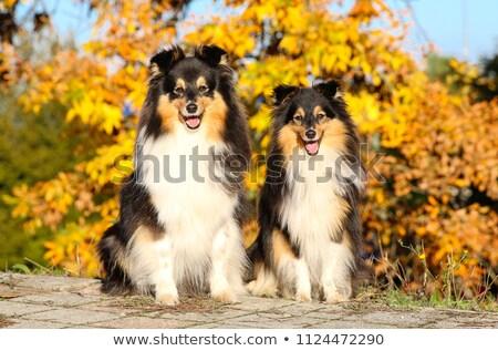 iki · köpekler · güzel · yalıtılmış · beyaz · bo - stok fotoğraf © eriklam