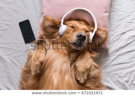犬 · ヘッドホン · グレイハウンド · 白 · 黒 · 動物 - ストックフォト © vlad_star