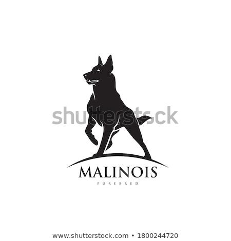 owczarek · belgijski · psa · posiedzenia · odizolowany · biały · portret - zdjęcia stock © eriklam