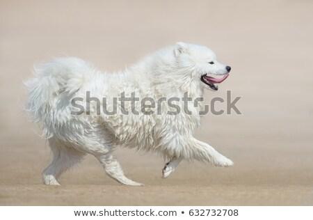 samoyed dog running stock photo © raywoo