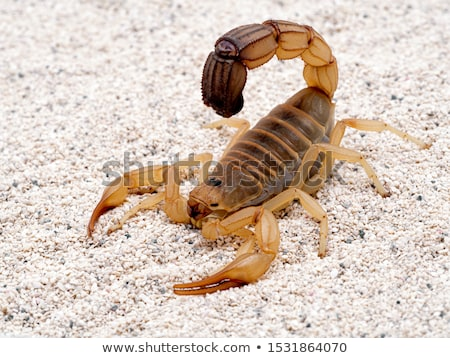 Scorpion Stock photo © bbbar