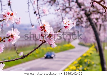 daffodils with blooming almond trees in the background stock photo © zerbor