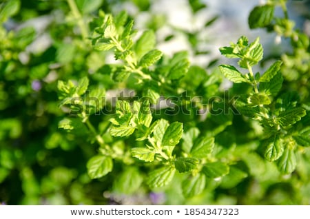 herbal peppermint tea closeup macro outdoor summer Stock photo © juniart