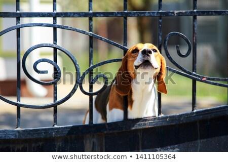 ビーグル 犬 ハウンド 屋外 浅い ストックフォト © ArenaCreative