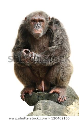 Majom csimpánz fej emberszabású majom állat szimbólum Stock fotó © Hermione