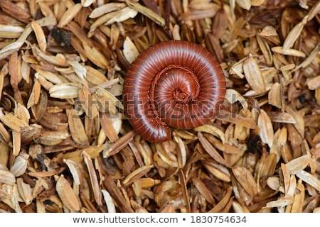 Piros rovar hosszú színes rajz illusztráció Stock fotó © derocz