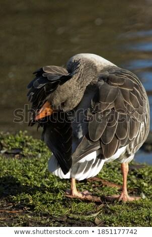 Doméstico ganso gansos verde campo verão Foto stock © Arrxxx