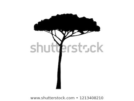 Maritime pine tree Stock photo © alessandro0770