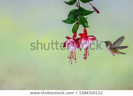 Fuschia flower Stock photo © devon