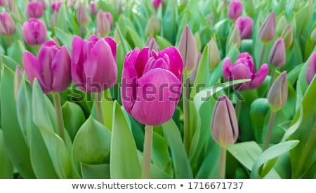 Magenta tulipánok három zöld fű vízcseppek közelkép Stock fotó © zhekos