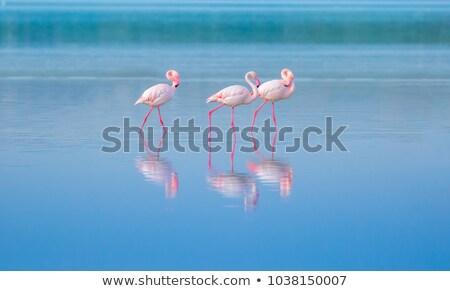 Pembe flamingo yürüyüş yan su doğa Stok fotoğraf © ottoduplessis