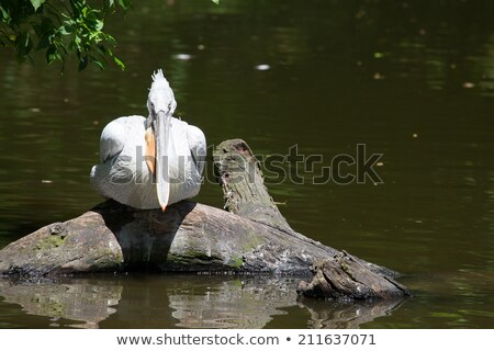 Young pelican sitting on a tree above the lake Stock photo © CaptureLight