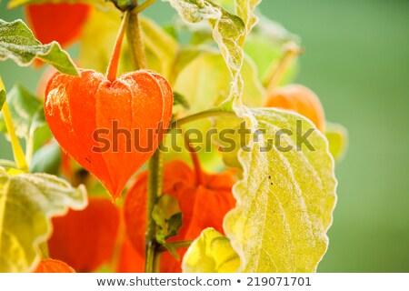 Részlet kert levél tél szabadtér senki Stock fotó © MKucova