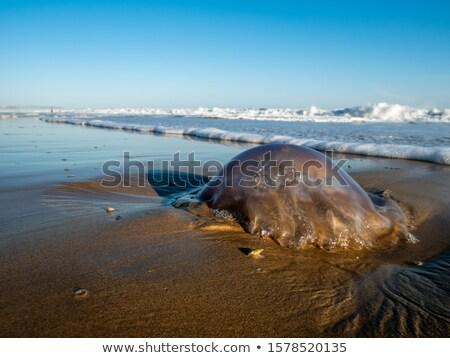 Pulluk salyangoz deniz plaj Güney Afrika su Stok fotoğraf © dirkr