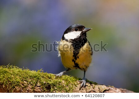 Great Tit Perched with Moss and Vivid Background Colors Stock photo © rekemp
