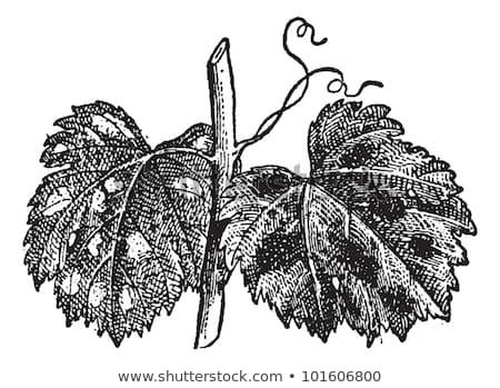 Powdery Mildew or Blumeria graminis, vintage engraving Stock photo © Morphart
