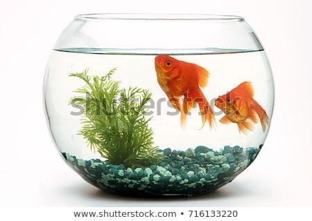 Goldfish in aquarium isolated on white background Stock photo © FreeProd
