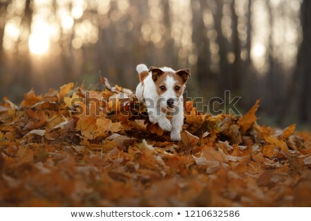 Jack russell terrier jouer balle chiot rose chien Photo stock © Burchenko