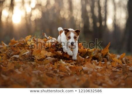Jack russell terrier jugando pelota cachorro rosa perro Foto stock © Burchenko