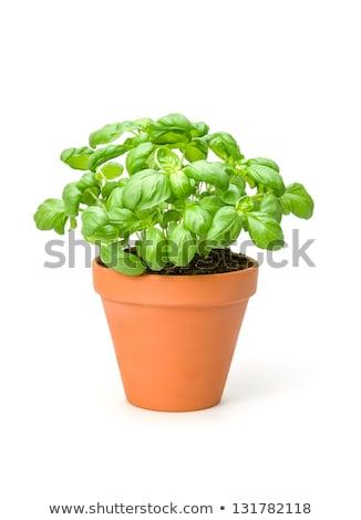 Mediterranean Basil in Pot Stock photo © zhekos