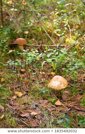 Twee witte mos hout paddestoel zon Stockfoto © romvo