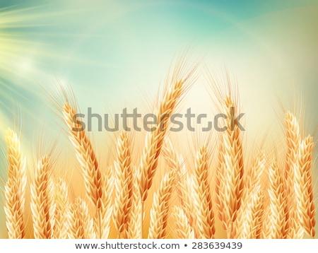field of golden wheat eps 10 stock photo © beholdereye