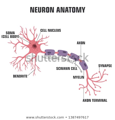 The neuron anatomy poster stock photo © Tefi