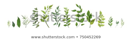 Zdjęcia stock: Zielone · liście · zestaw · inny · biały · liści · pozostawia