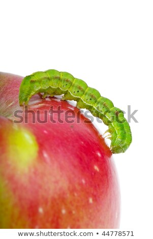 big green caterpillar crawling over the red apple stock photo © digitalr