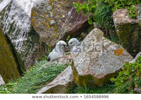 Northern Fulmar and Cliffs Stock photo © suerob