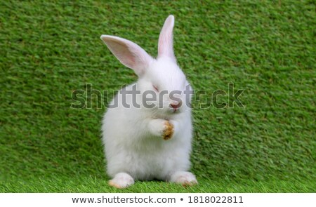 little rabbit shot on white stock photo © shevs