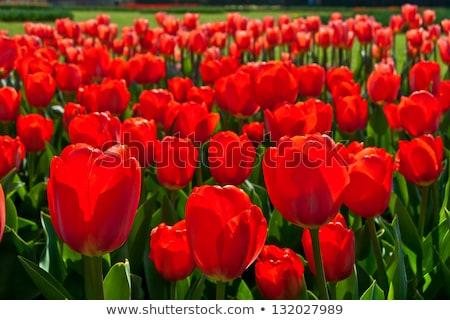 Brillante rojo tulipanes jardín primavera flor Foto stock © Arsgera