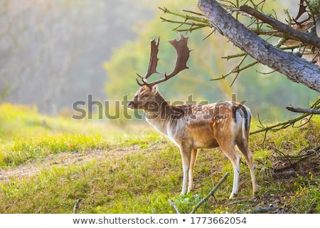 beautiful fallow deer in autumn forest Stock photo © taviphoto