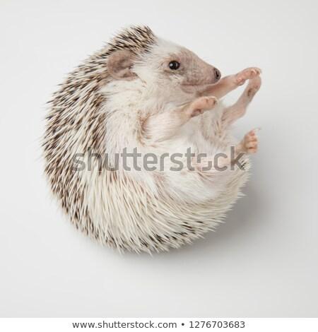 ハリネズミ · 小さな · 寝 · 草 · 緑 · 針 - ストックフォト © feedough