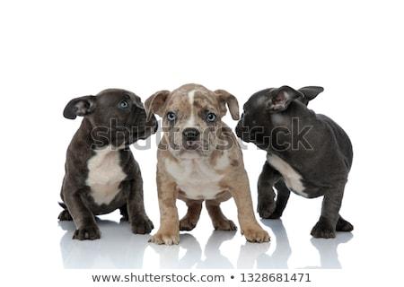 любопытный мало американский щенки Сток-фото © feedough