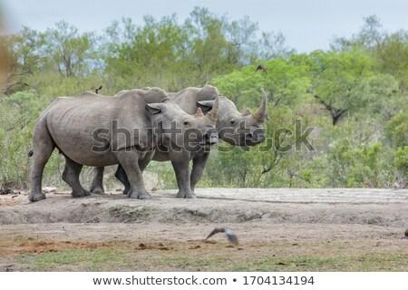 Rinoceronte natureza ilustração água árvore Foto stock © bluering