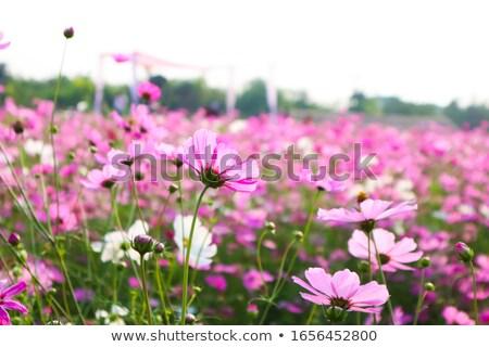 Pink cosmea (cosmos) flower Stock photo © digitalr